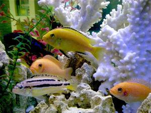 видовой интерьер аквариума цихлиды