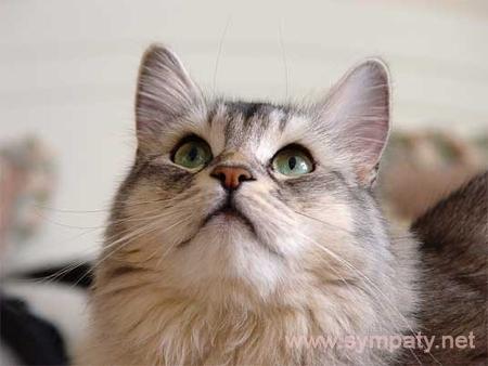 какую породу кошек выбрать