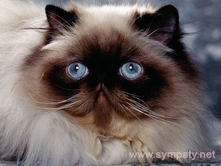 кошка породы перс