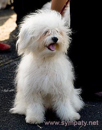 собака породы одис