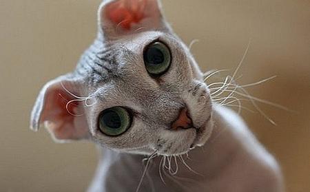 бесшерстные кошки