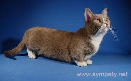 породы мини-кошек