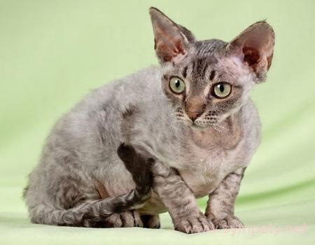 кудрявые кошки