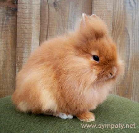 породы домашних декоративных кроликов