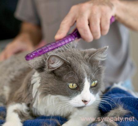 как ухаживать за длинношерстной кошкой