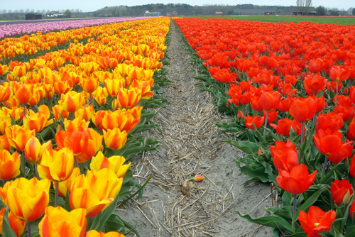 Цветение тюльпанов в Нидерландах приходится на апрель!