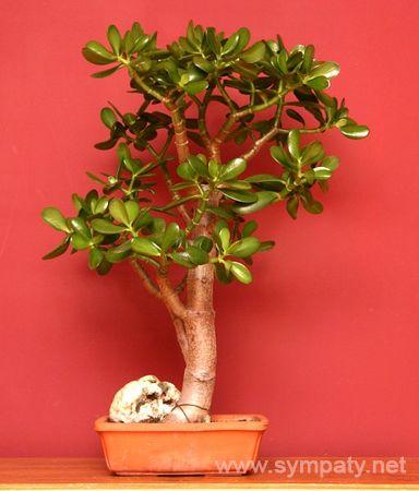 как правильно вырастить денежное дерево