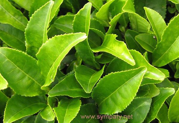 зеленый чай способствует похудению или нет
