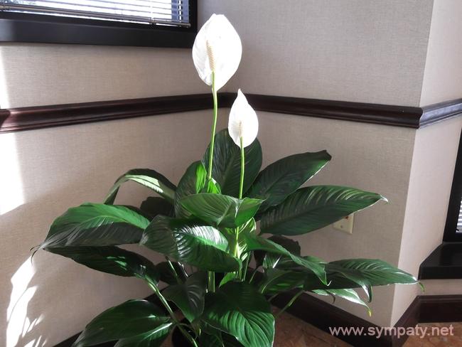 домашние растения очищают воздух